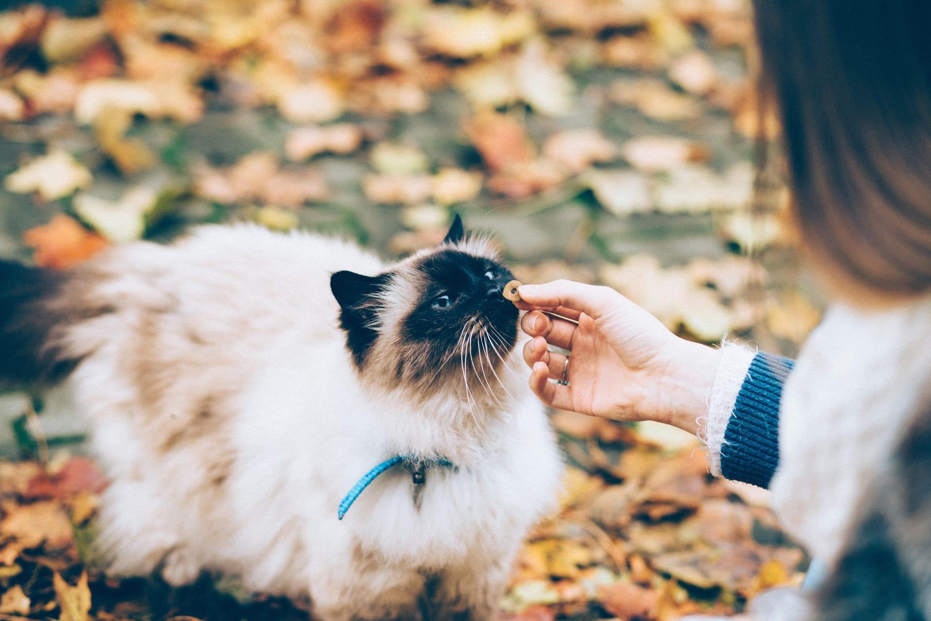 bg himalayan treat - Nashville Cat Rescue