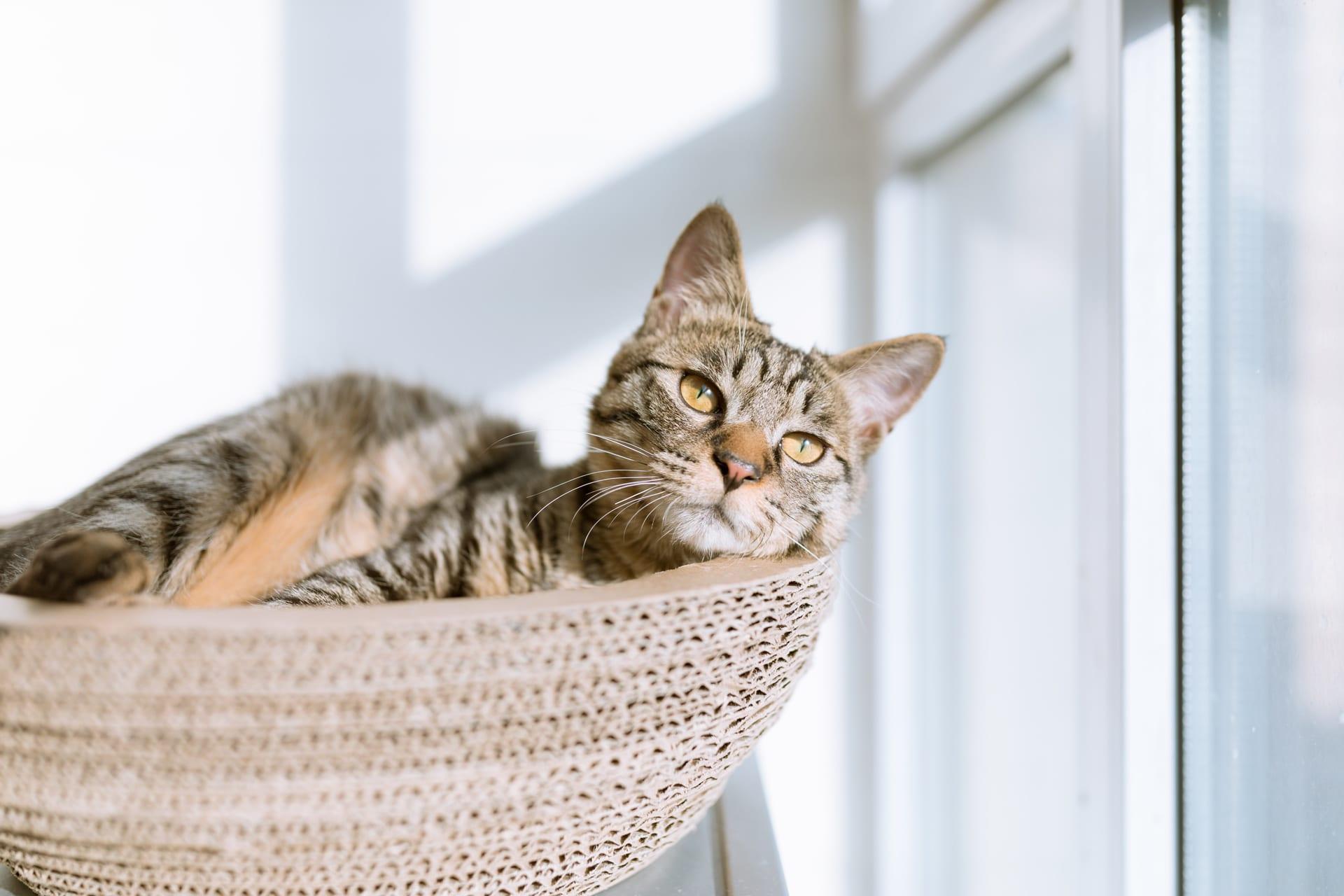 tabby in basket sunlight - Nashville Cat Rescue