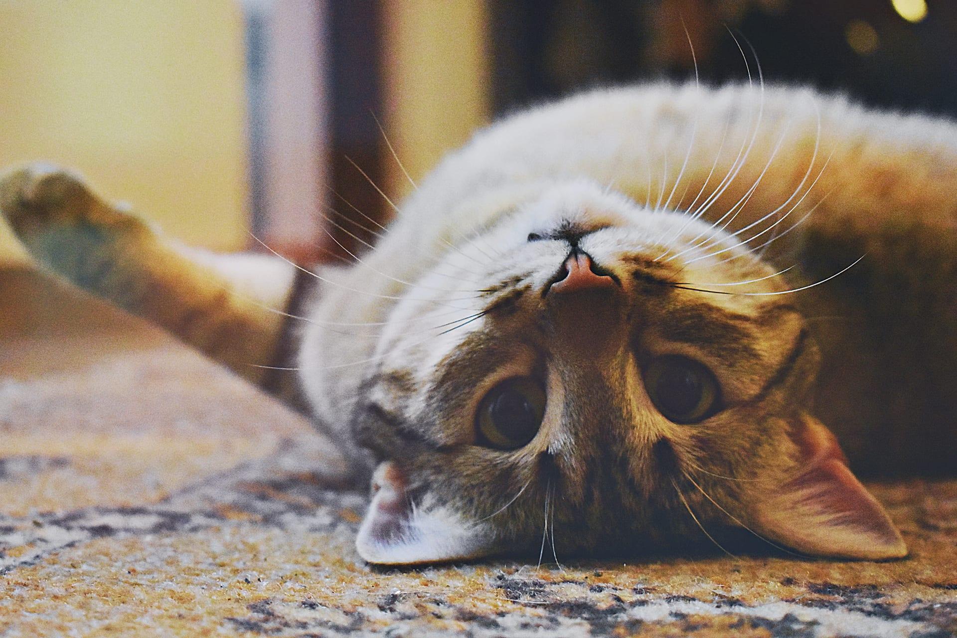 tabby on back - Nashville Cat Rescue